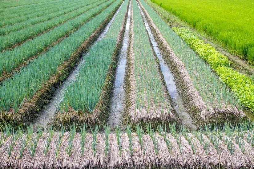 Field of green onions in Yilan