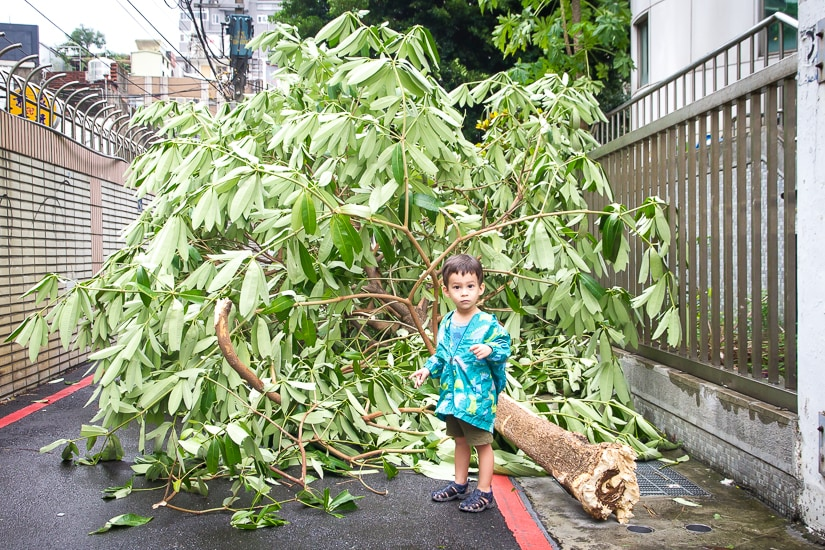 My son standing in front of a tree that fell over during Typhoon Megi in Taiwan in September 2016
