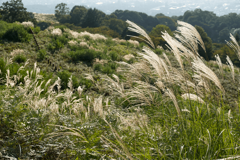 Silvergrass on Yangmingshan