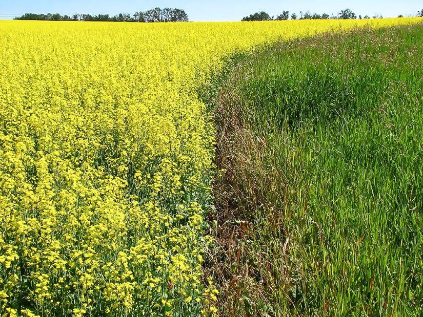 Yellow canola field in Alberta