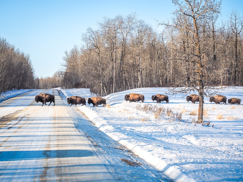 Bison crossing the road in Elk Island National Park in winter