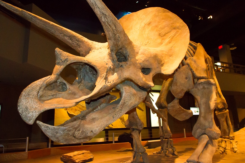 Triceratops skeleton at Royal Tyrell Museum of Paleontology in Drumheller, Alberta