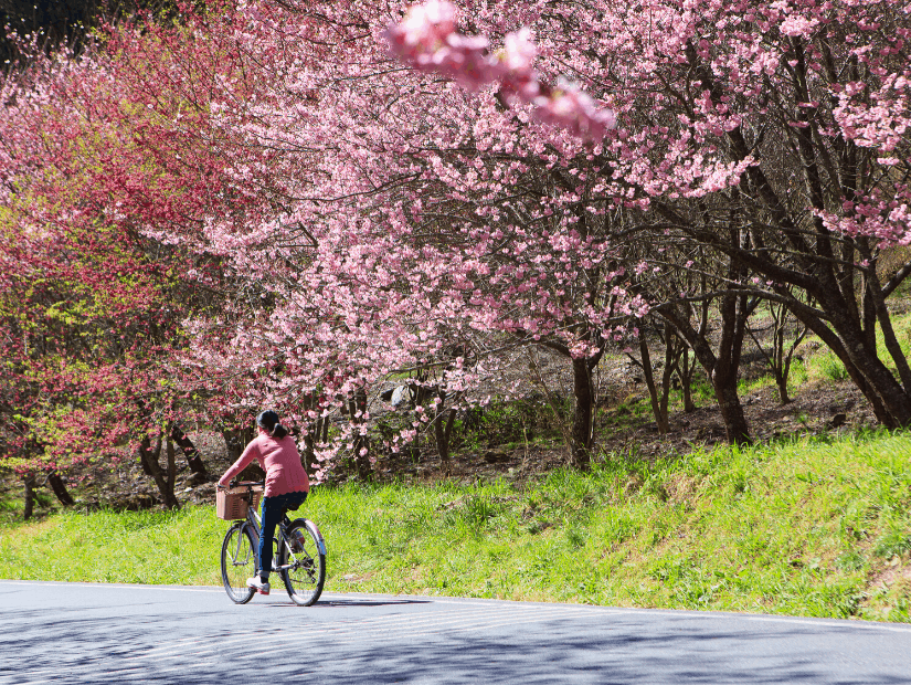 Cyclist riding past cherry blossoms at Wuling Farm, one of the best places to see cherry blossoms in February in Taiwan