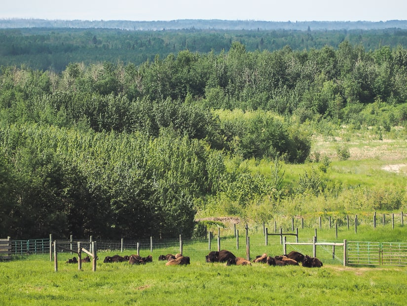 Herd of wood buffalo at Bison Lookout, Fort McMurray