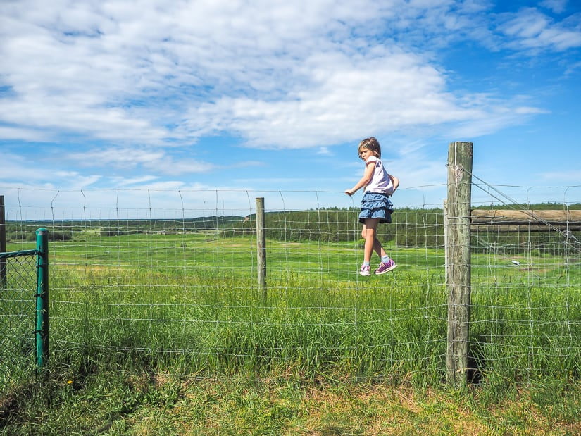 Girl climbing a fence to see bison at the Syncrude Bison Lookout in Fort McMurray
