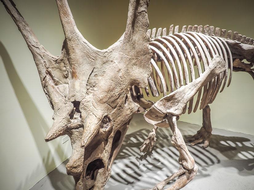 Chasmosaurus skeleton, Dinosaur Provincial Park Interpretive Centre Museum