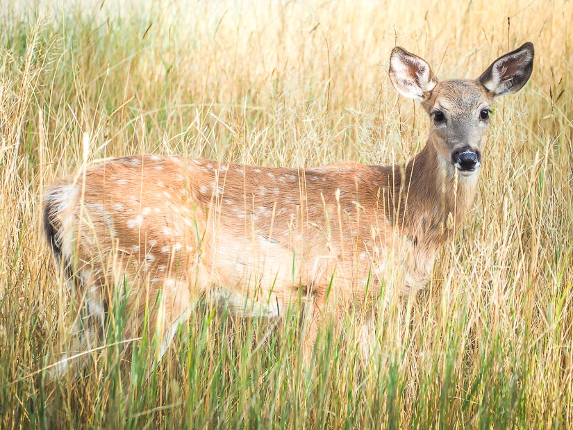Spotted deer, Strathcona Island Park