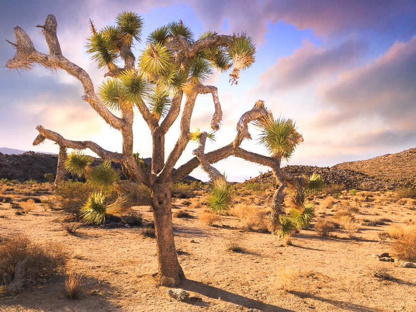 A lone tree in autumn in Joshua Tree National Park