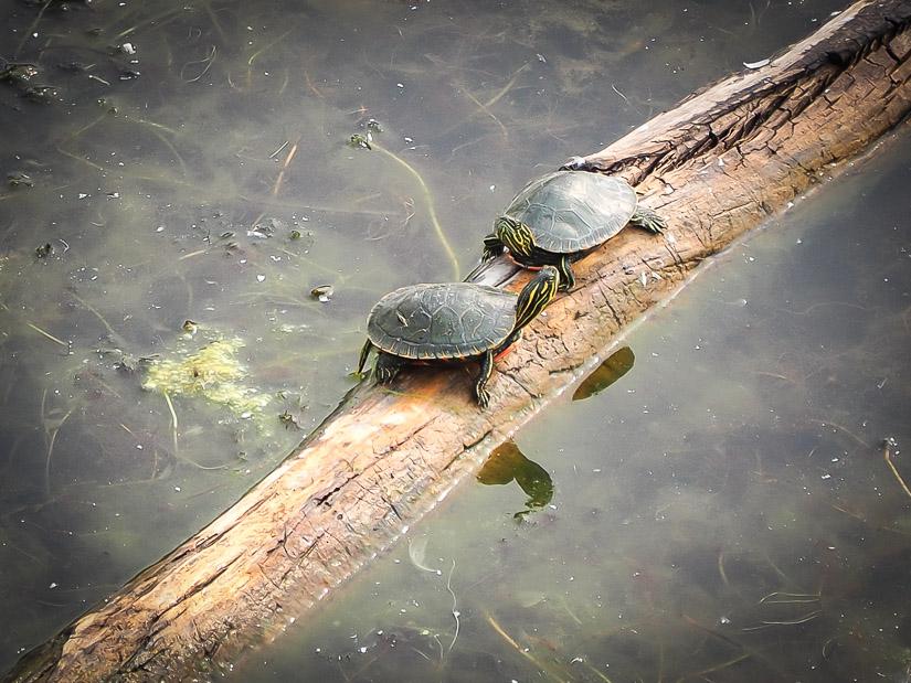 Turtles at Elizabeth Hall Wetland