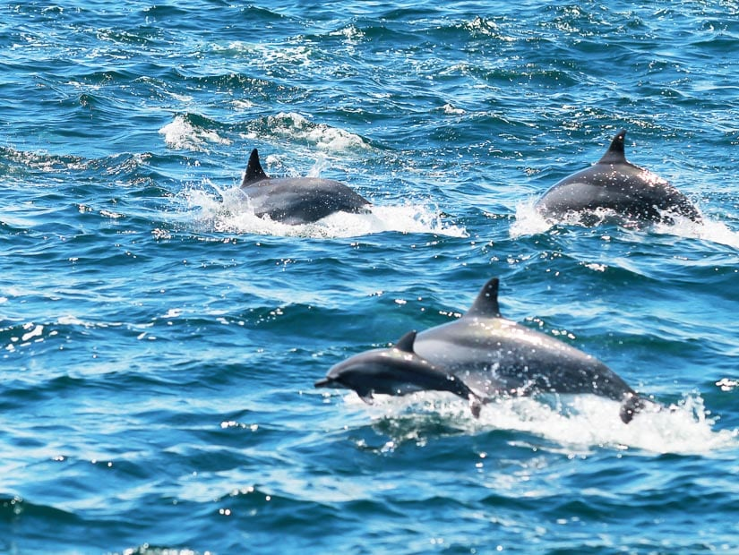Dolphins jumping out of sea on a whale and dolphin watching tour in Hualien