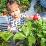 Little girl picking strawberries in Dahu, Miaoli, Taiwan
