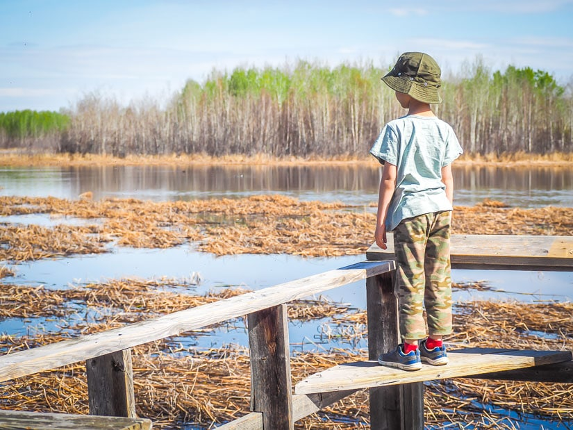 A kid standing on a bench looking out at a swamp at Clifford E. Lee Sanctuary just outside of Edmonton