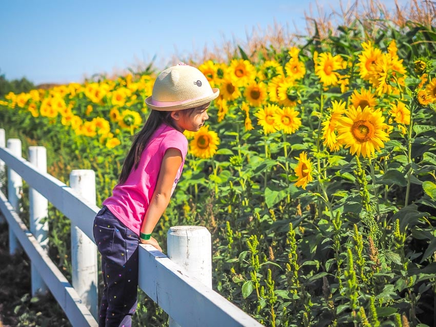 A girl standing on a fence and looking at sunflowers at the Edmonton Corn Maze