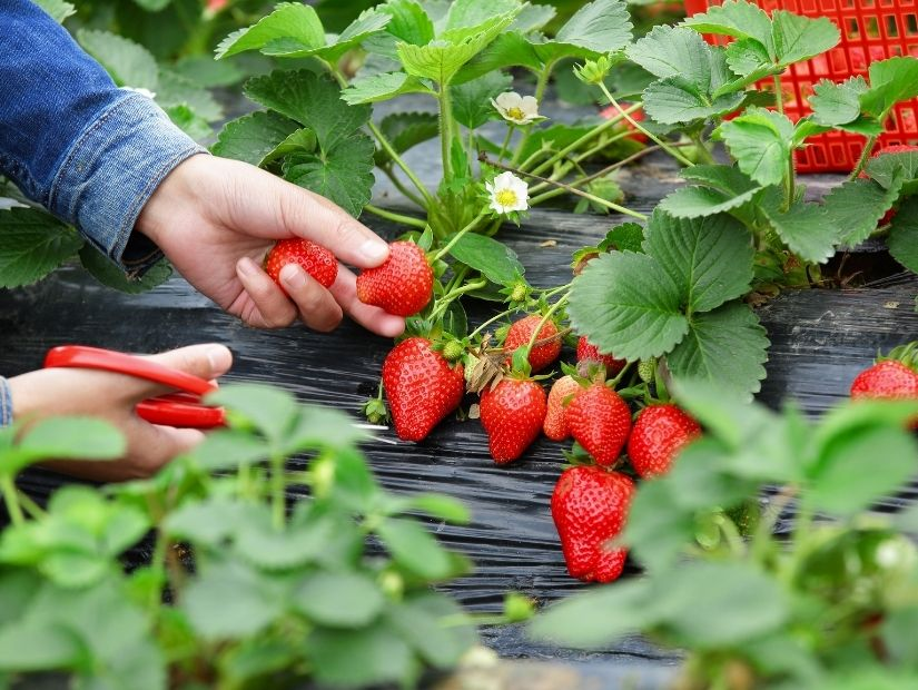 A hand with scissors cutting some strawberries