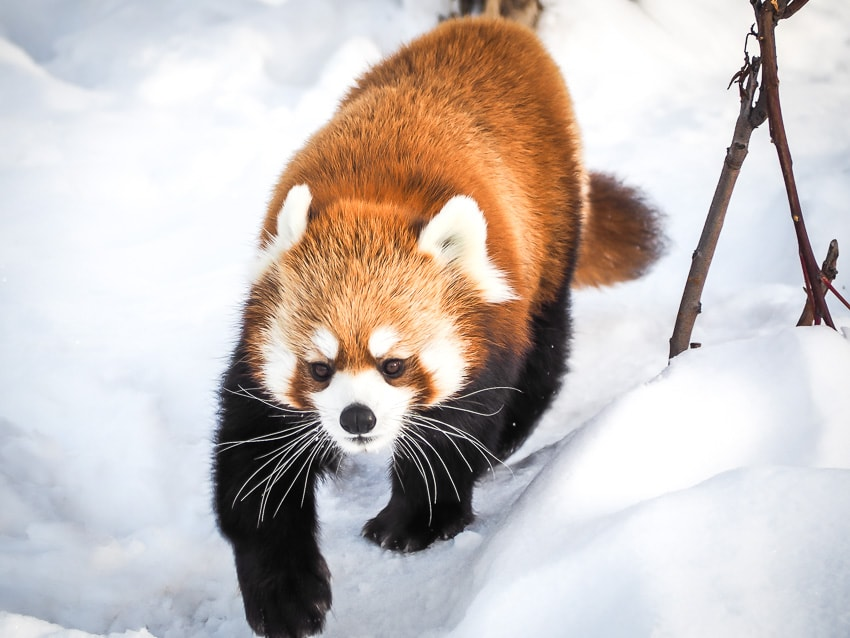 Red panda walking in snow at the Edmonton Valley Zoo