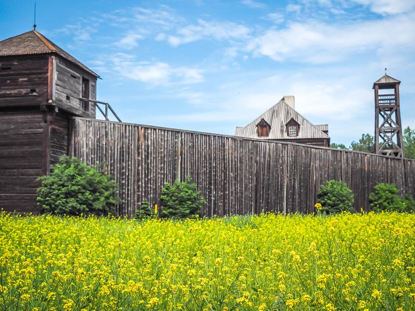 A field of yellow flowers with Fort Edmonton in the background